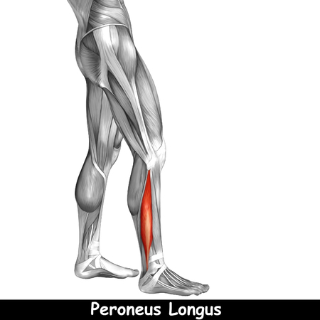 sportive: Conceptual 3D human front lower leg muscle anatomy isolated on white background