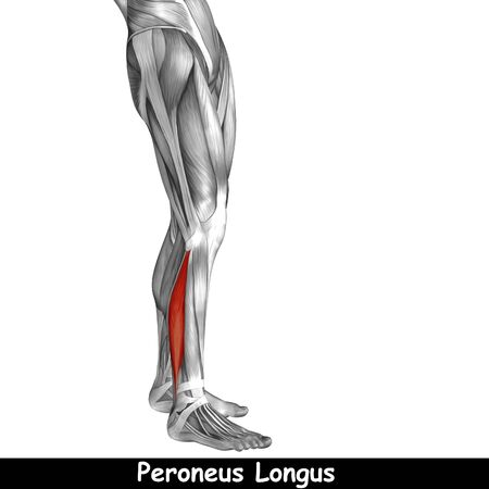 tensor: Conceptual 3D human front lower leg muscle anatomy isolated on white background