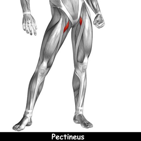 Koncepcyjne 3D człowieka przedniej górnej nogi mięśni anatomii samodzielnie na białym tle