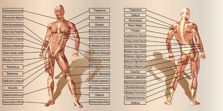 ビンテージ ベージュの背景にテキストをベクトル 3 D 男筋解剖学
