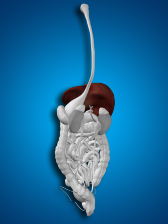 guts: Concept conceptual 3D human man anatomy of digestive system on blue background