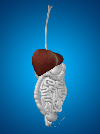 gallbladder surgery: Concept conceptual 3D human man anatomy of digestive system on blue background