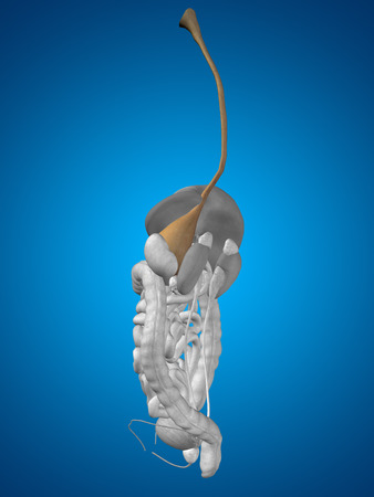 sphincter: Concept conceptual 3D human man anatomy of digestive system on blue background