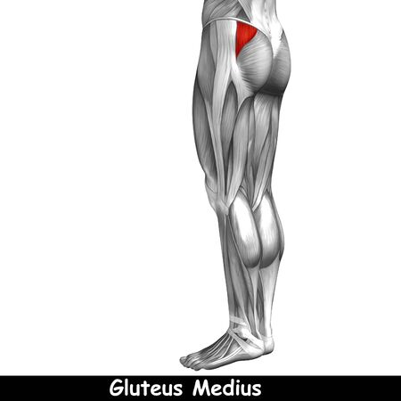 gastrocnemius: Conceptual 3D human back upper leg muscle anatomy isolated on black background