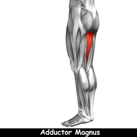 tensor: Conceptual 3D human back upper leg muscle anatomy isolated on black background
