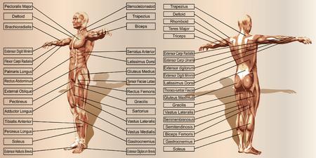 Vector 3D anatomía del músculo del hombre con el texto sobre fondo beige vintage