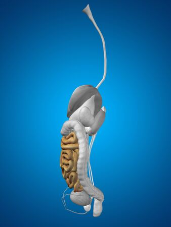 small bowel: Concept conceptual 3D human man anatomy of digestive system on blue background