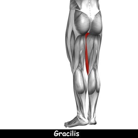 achilles tendon: Conceptual 3D human back upper leg muscle anatomy isolated on black background
