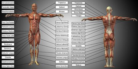 Vector 3D man muscle anatomy with text on gray background