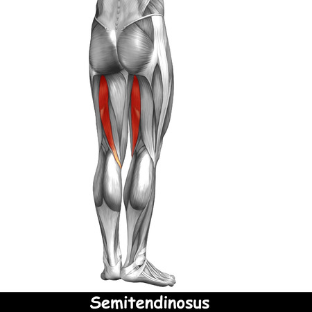 Conceptual 3D human back upper leg muscle anatomy isolated on black background