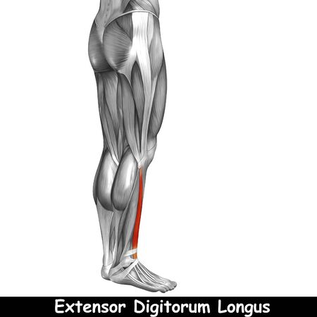 didactic: Conceptual 3D human back lower leg muscle anatomy isolated on white background