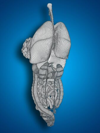 3D wireframe human or woman internal abdominal or thorax organs for anatomy or health on blue background