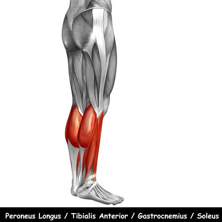 Conceptual 3D human back lower leg muscle anatomy isolated on white background