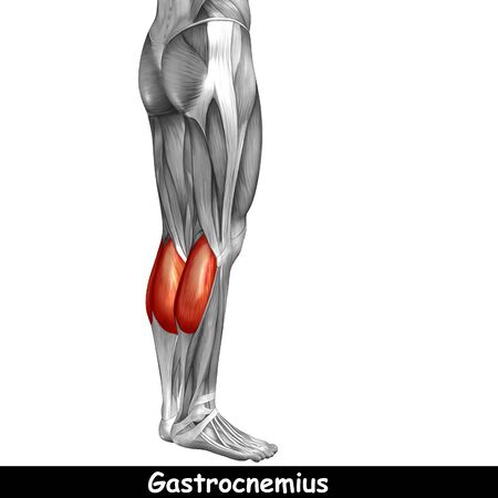 achilles tendon: Conceptual 3D human back lower leg muscle anatomy isolated on white background