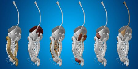Conceptual anatomical human or man 3D digestive system on blue background