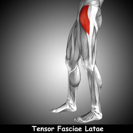 didactic: Conceptual 3D human front upper leg muscle anatomy and text on gray background Stock Photo