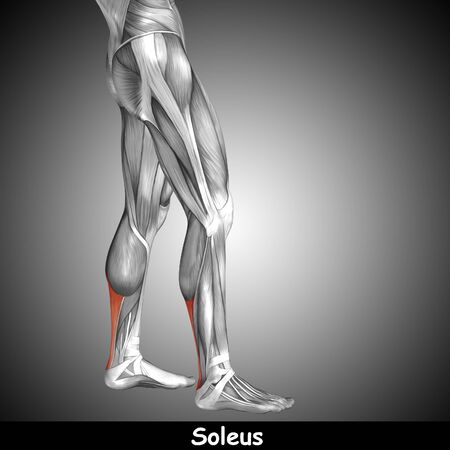 didactic: Conceptual 3D human back lower leg muscle anatomy on gray background