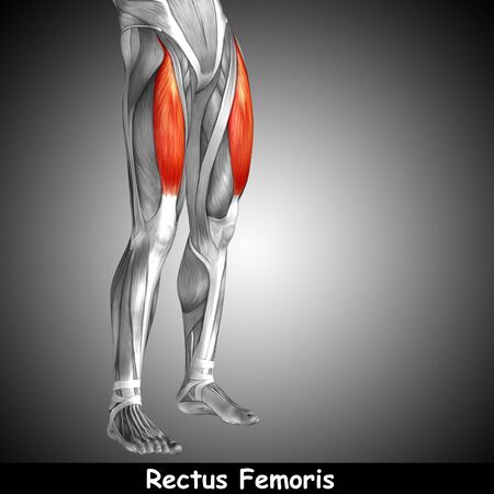 Conceptual 3D human front upper leg muscle anatomy and text on gray background Zdjęcie Seryjne