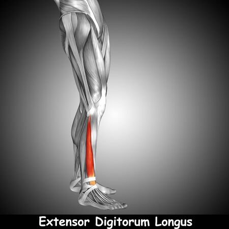 didactic: Conceptual 3D human front lower leg muscle anatomy and text on gray background Stock Photo