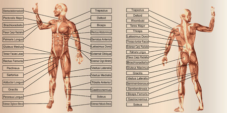 Vector 3D man muscle anatomy with text on beige vintage background