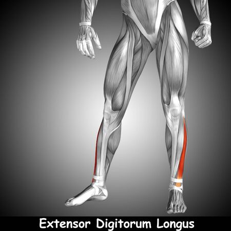 rectus: Conceptual 3D human front lower leg muscle anatomy and text on gray background Stock Photo