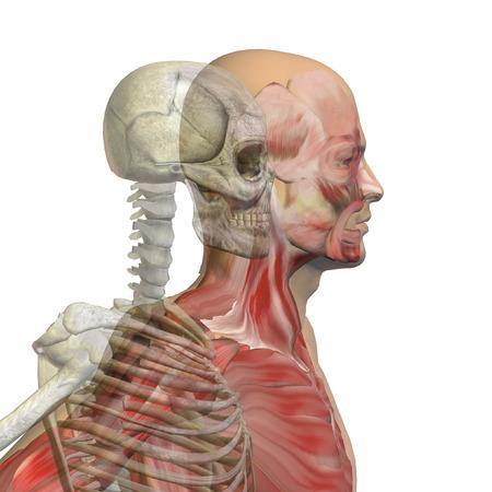 解剖学人体の白い背景の概念