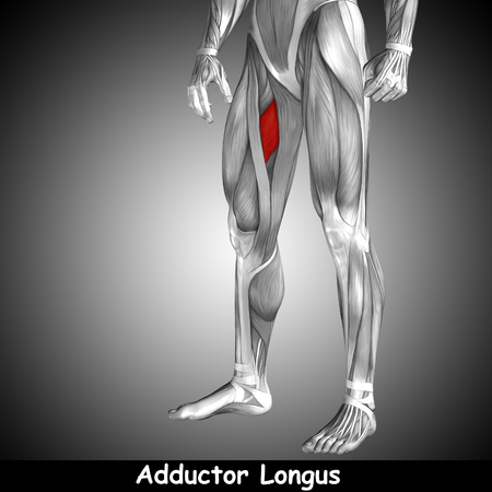 rectus: Conceptual 3D human front upper leg muscle anatomy and text on gray background Stock Photo