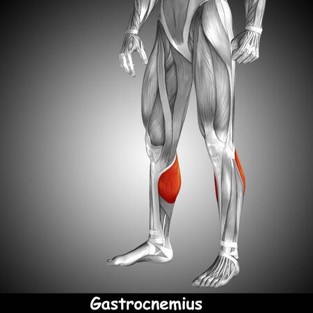 Conceptual 3D human front lower leg muscle anatomy and text on gray background Stock Photo