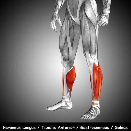 human leg: Conceptual 3D human front lower leg muscle anatomy and text on gray background Stock Photo