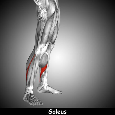 tensor: Conceptual 3D human front lower leg muscle anatomy and text on gray background Stock Photo