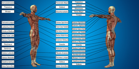 Vector 3D man muscle anatomy with text on blue background Stock Photo