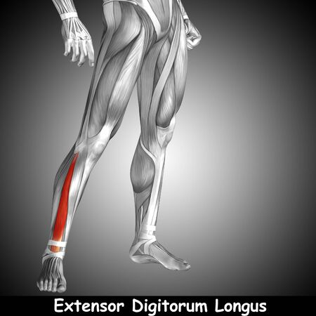 Conceptual 3D human front lower leg muscle anatomy and text on gray background Zdjęcie Seryjne