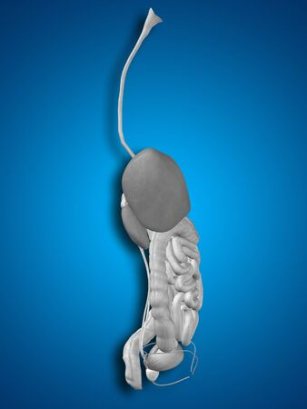 cecum: Conceptual anatomical human or man 3D digestive system on blue background