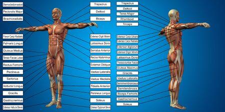 青い背景上のテキストとベクトル 3 D 男性筋肉解剖学