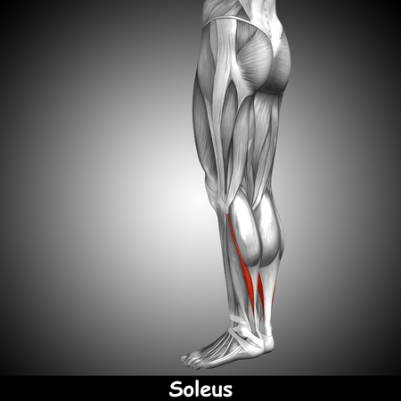 achilles tendon: Conceptual 3D human back lower leg muscle anatomy on gray background