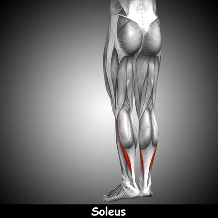 Conceptual 3D human back lower leg muscle anatomy on gray background