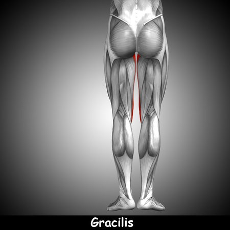 tensor: Conceptual 3D human back upper leg muscle anatomy on gray background Stock Photo