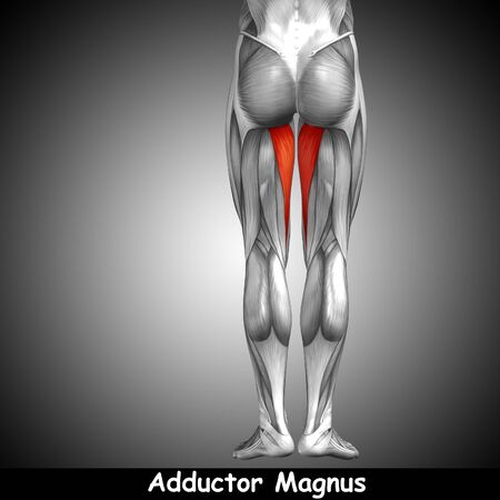 achilles tendon: Conceptual 3D human back upper leg muscle anatomy on gray background Stock Photo