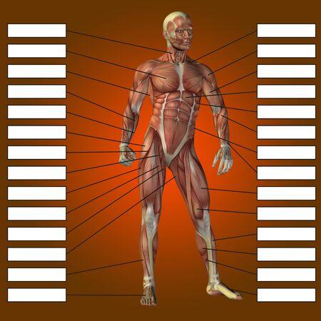 3 D の人間男性の解剖学の筋肉と赤の背景にテキスト ボックスが