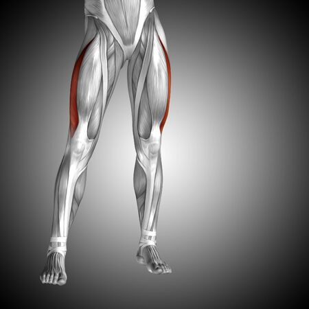 Conceptual 3D human front upper leg muscle anatomy on gray background Stock Photo