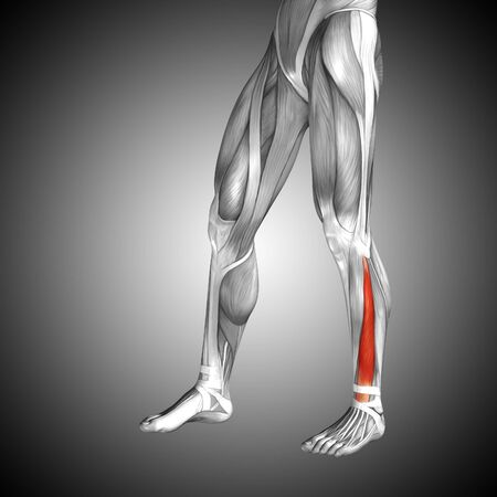 Conceptual 3D human front lower leg muscle anatomy on gray background Stock Photo