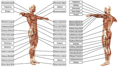 Vector 3D man muscle anatomy with text isolated on white background