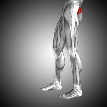 Conceptual 3D human back upper leg muscle anatomy on gray background Stock Photo