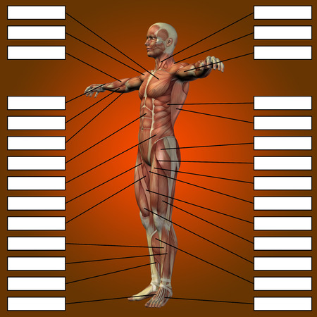 3D human male anatomy with muscles and text box on red background