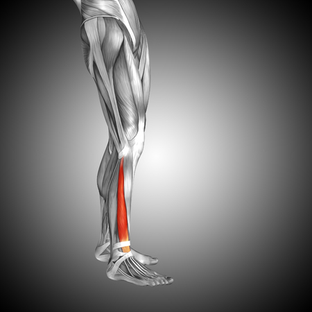 Conceptual 3D human front lower leg muscle anatomy on gray background Zdjęcie Seryjne