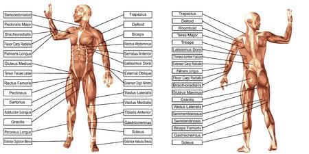 テキストは、白い背景で隔離のベクトル 3 D 男筋の解剖学