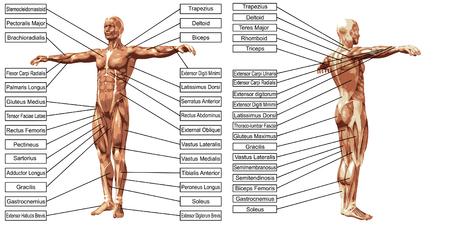 Vettore 3D dell'anatomia muscolare uomo con testo isolato su sfondo bianco