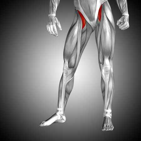 Conceptual 3D human front upper leg muscle anatomy on gray background Zdjęcie Seryjne