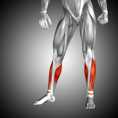 sportive: Conceptual 3D human front lower leg muscle anatomy on gray background Stock Photo