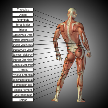 3D human male anatomy with muscles and text on gray background